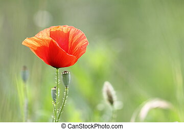detail of a red poppy in bloom