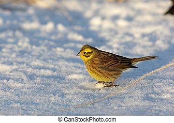 Yellowhammer, Emberiza citrinella, single male standing on...