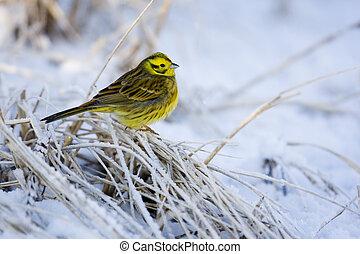 Yellowhammer, Emberiza citrinella, single male standing on...