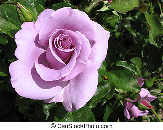 Purple Rose - An unusually hued rose