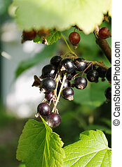 Blackcurrant (Ribes nigrum) - The blackcurrant (Ribes...