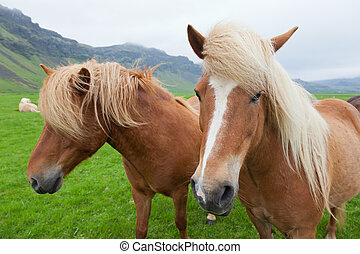 Chestnut Icelandic Horses - Two nice Icelandic horses with...