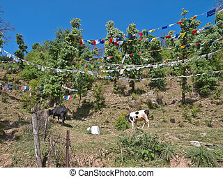 Dharamsala - Two cows on hill with prayer flags, Dharamsala,...