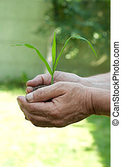 Old man hands holding a green young plant