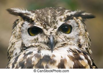Ethiopian Eagle Owl - Close up of Ethiopian Eagle Owl (Bubo...