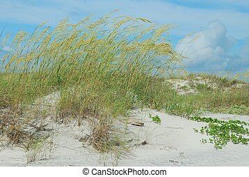 Windswept sea oats on Florida dunes - Sea oats blown by a...