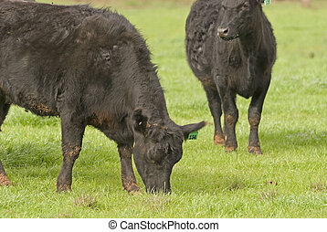 mammal - 2 cows grazing in a rural pasture close-up