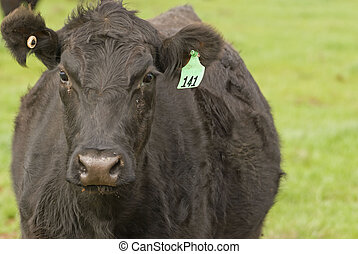 mammal - a close up of a black cow in rural paddock