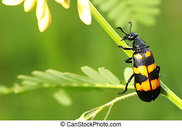 blister beetle - A blister beetle climb on mimosa tree