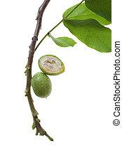 green walnut twig