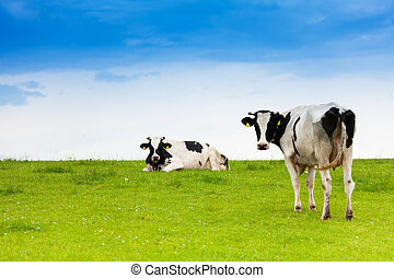 Two black and white cows on clean sky and green grass field