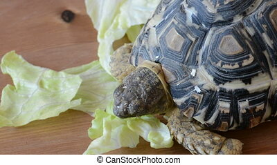 Mountain or leopard tortoise Geochelone pardalis eating the...