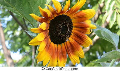 The little bee and sunflower - The little bee and big yellow...