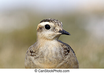Dotterel, Charadrius morinellus, single juvenile on grass...
