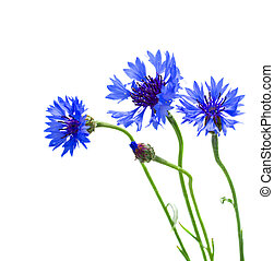 blue corn flowers   isolated on white background