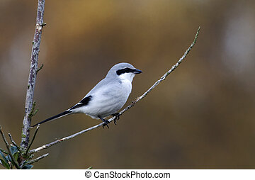Great-grey shrike, Lanius excubitor, single bird on branch,...