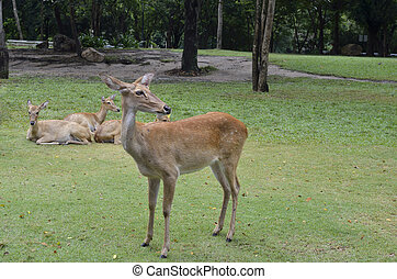 Antelopes in open zoo, Thailand