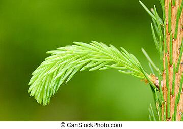 green fir bud