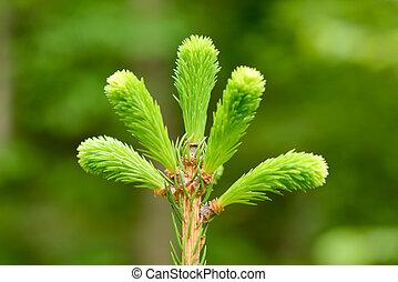 green fir buds