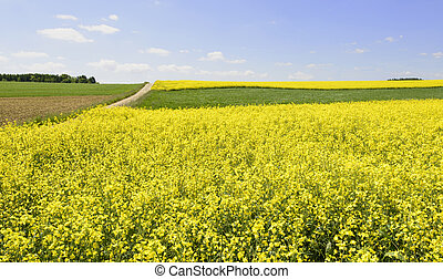 fields of yellow rapeseed in Baden country, Geisingen -...