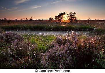 sunset over swamps and flowering heather, Focheloerveen,...
