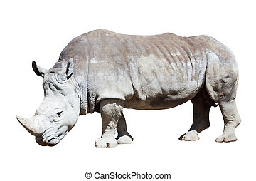 white rhinoceros over white - white rhinoceros Camelus...