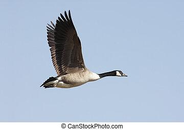 Canada Goose (Branta canadensis) In Flight - Canada Goose...