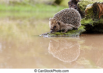 Hedgehog, Erinaceus europaeus, single mammal by water,...