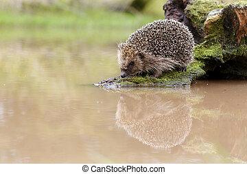 Hedgehog, Erinaceus europaeus, single mammal by water,...