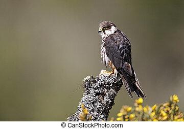 Hobby, Falco subbuteo, single captive bird on branch,...