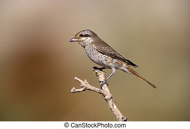 Isabelline shrike,Lanius isabellinus, single bird on branch,...