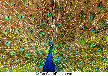 Portrait of Peacock with Feathers Out - Portrait of Peacock...