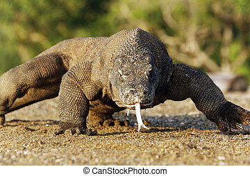 Komodo dragon, Varanus komodoensis, single lizard on floor,...