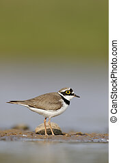 Little-ringed plover, Charadrius dubius, single bird by...