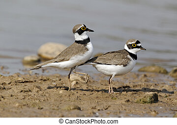 Little-ringed plover, Charadrius dubius, two birds mating,...