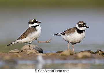 Little-ringed plover, Charadrius dubius, two birds...