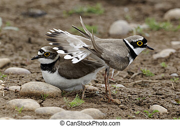 Little-ringed plover, Charadrius dubius pair displaying,...
