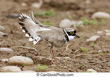 Little-ringed plover, Charadrius dubius single bird...