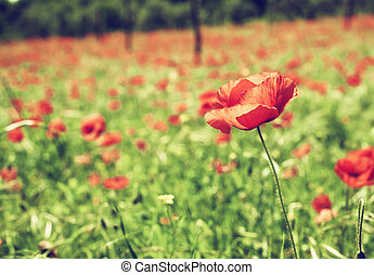 Vintage red poppies on green field - Beautiful vintage red...
