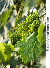 Green grape clusters, Tuscany. - Clusters of green grapes on...