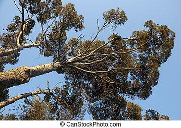 Pine tree growing toward skys - Pine tree growing towards...