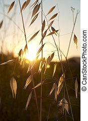 Oat in sunset - Dry oat in sunset over the hill