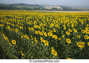 Sunflower field, Tuscany - Sunflower field in Tuscany, Italy...