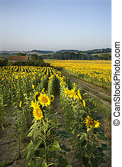 Sunflower field, Tuscany - Rows of sunflowers growing in...