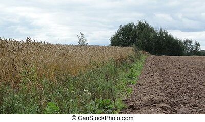 ripe wheat plowed field - red natural poison fly agaric...
