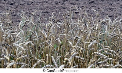 ripe wheat plowed field - close of ripe wheat ears move in...