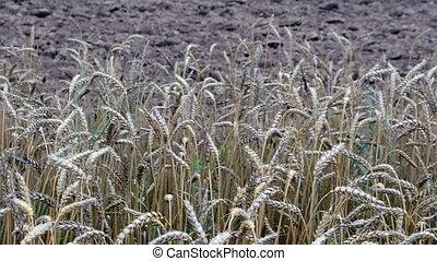ripe wheat plowed field