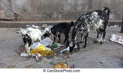 goats in Jaipur city street, India - goats in Jaipur city...