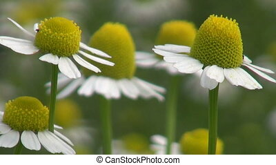 summer time chamomile macro blossoms in wind