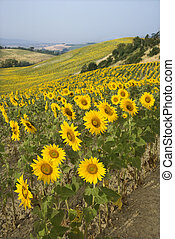 Sunflower field. - Sunflowers growing in field on rolling...